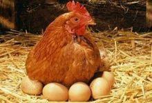 Yumurta Tavukçuluğu ve Kar Marjı