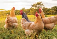 Organik Tavuk Yetiştiriciliği